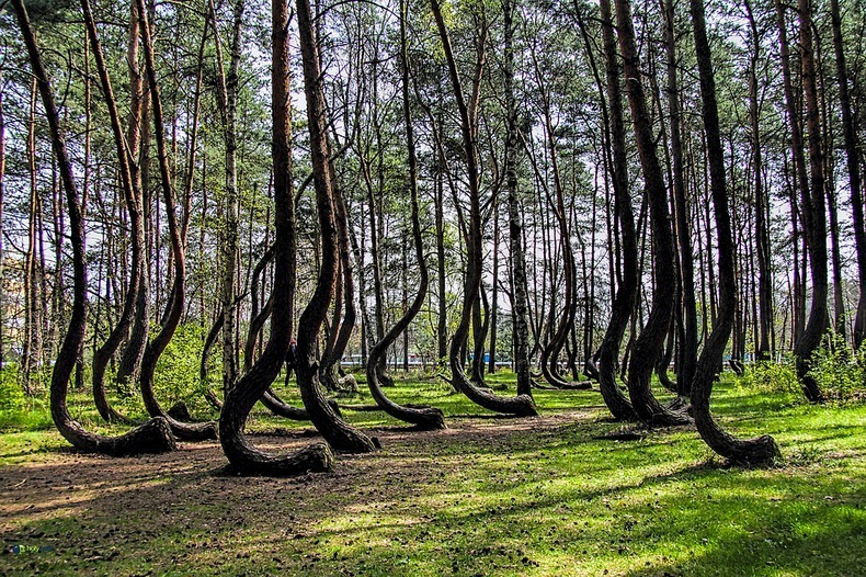 "The ""Crooked Forest"" - Poland"