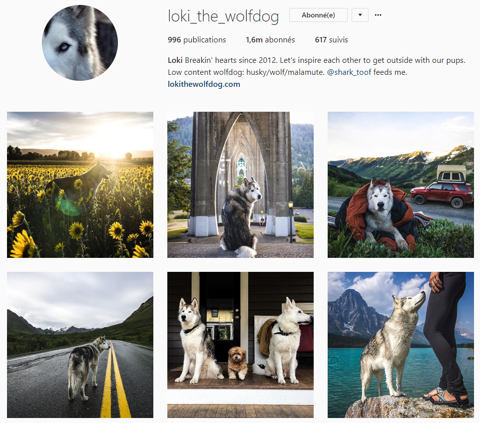 loke the wolfdog instagram