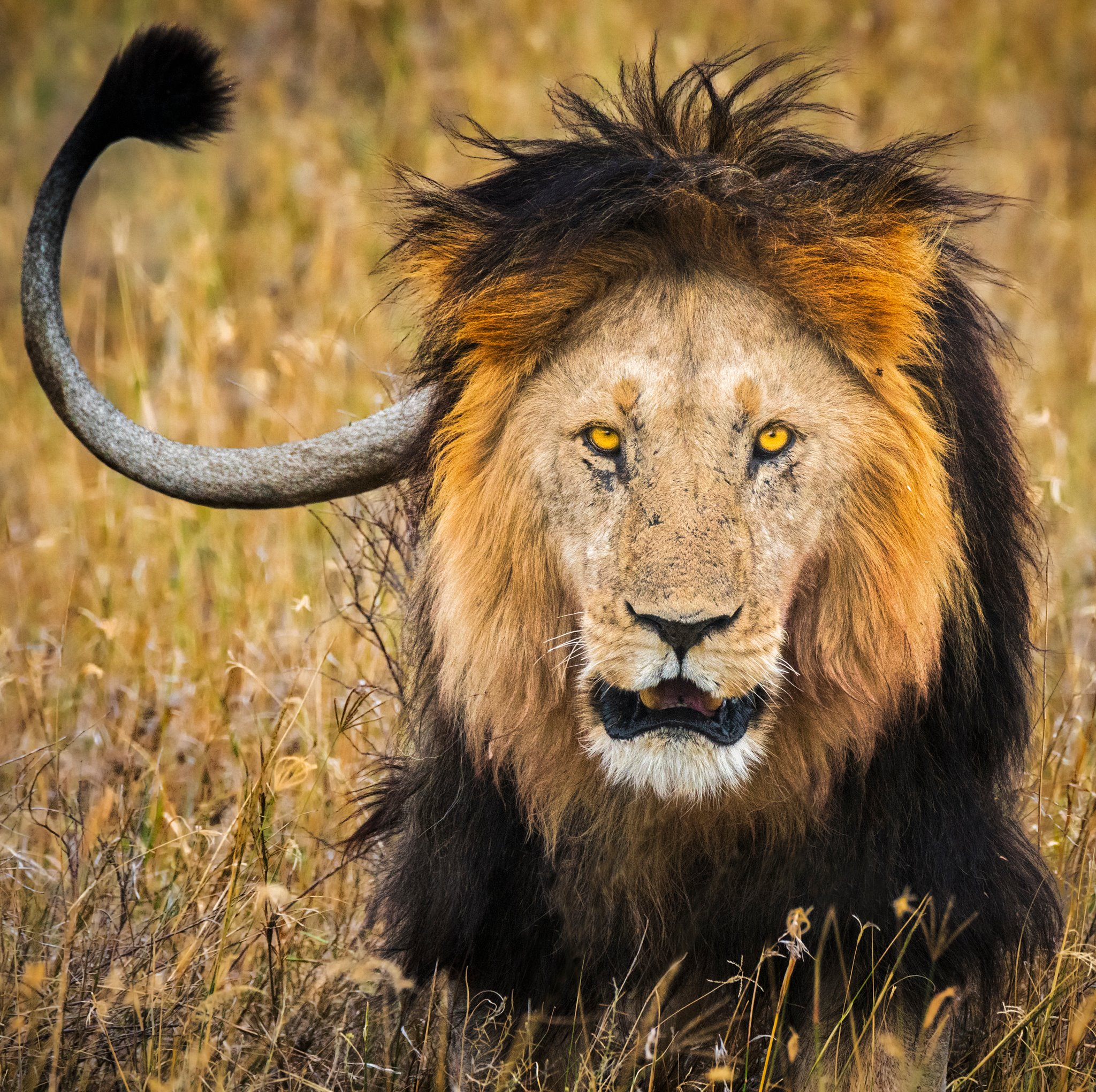 lion serengeti